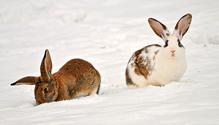 Rabbits in the snow